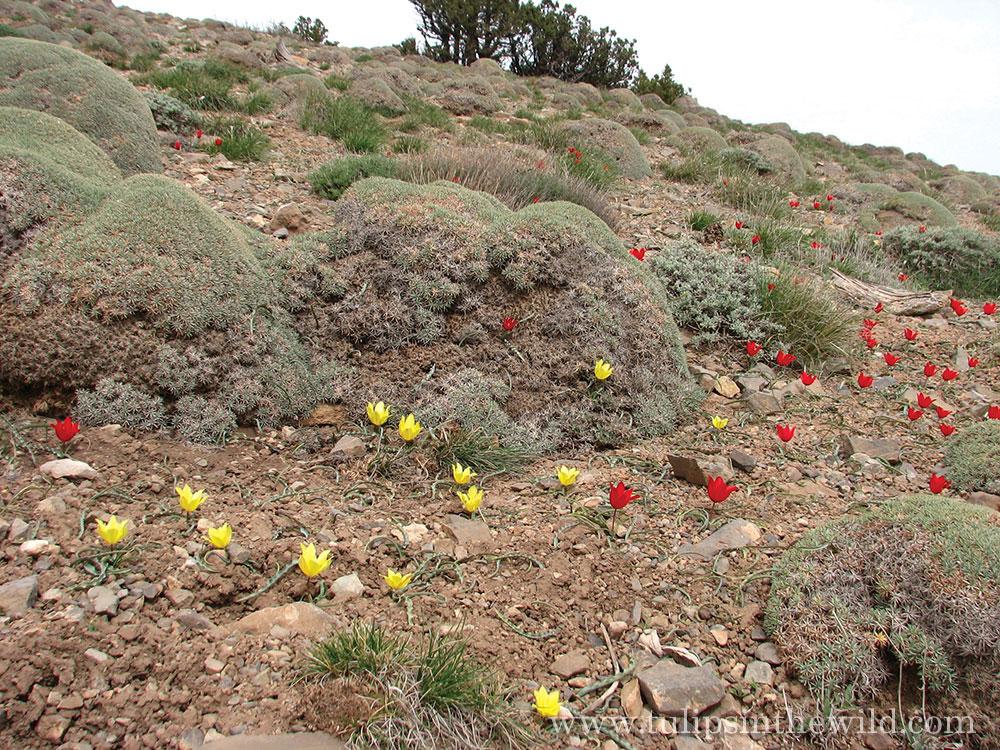 Tulipa montana | The Teddington Gardener